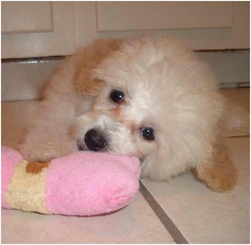 nov-27-2007-4-daisy-baby-toy-poodle